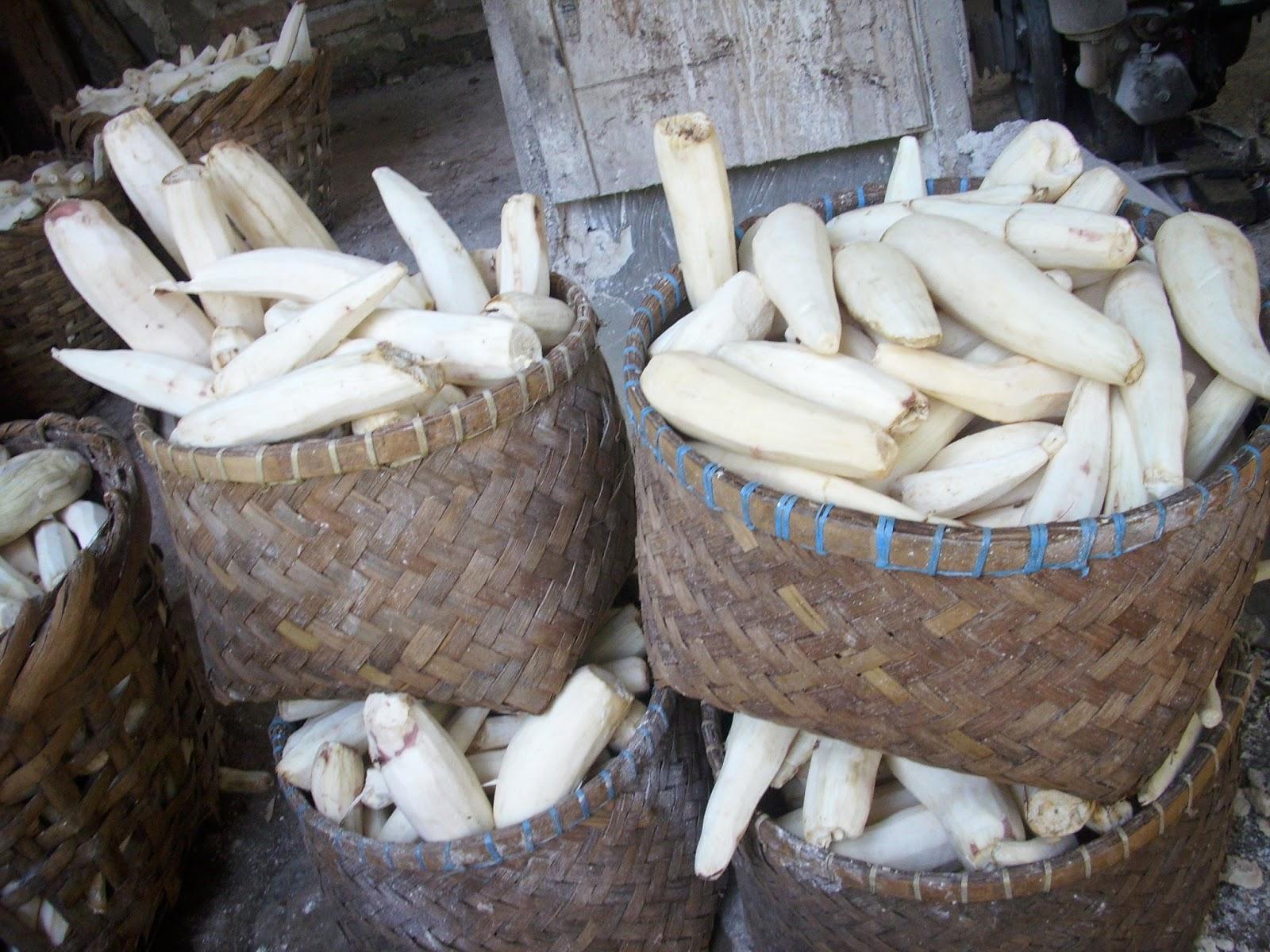 Singkong, bahan utama pembuatan mocaf